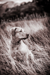 Dog poised in a long grassy field | Pet Photography with Eric Pearce Photography